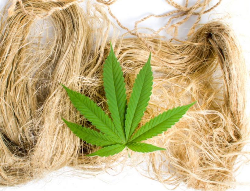 feuille de cannabis sur chanvre séché