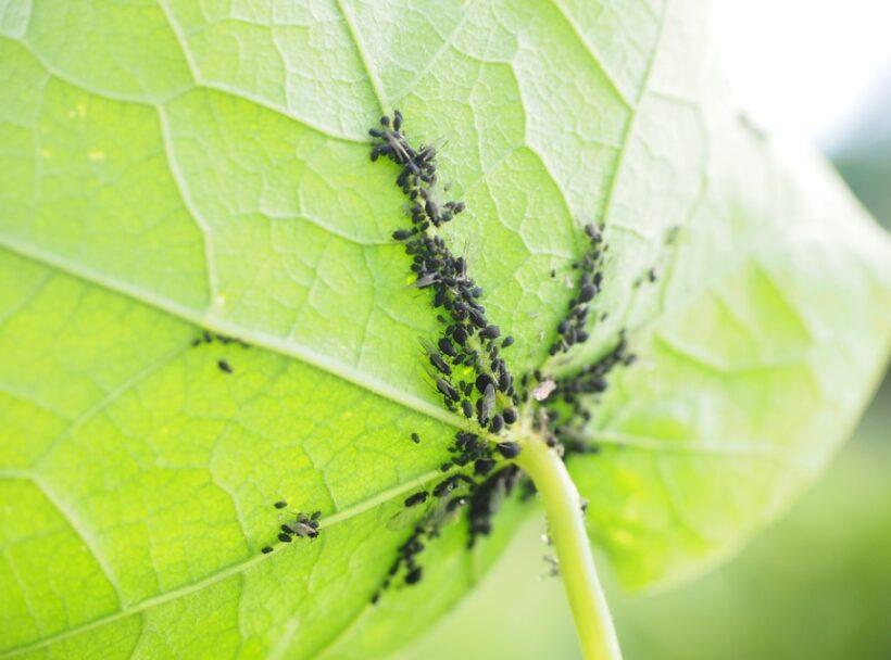 feuille plante puceron noir