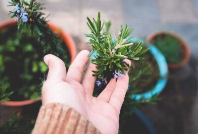 main touche bouture de romarin planté en pot